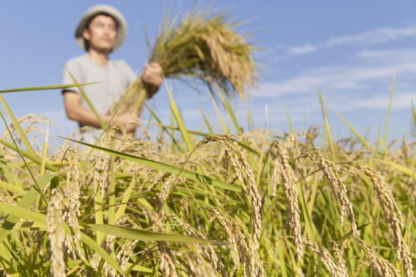 田で稲を持つ男性