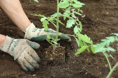 ミニトマトの苗の植え付け