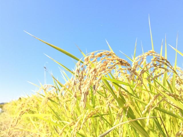 稲刈り時期の稲