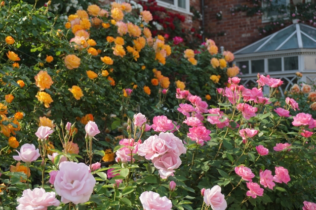 数種類のバラの咲く庭