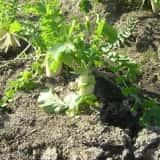 畑で栽培されているダイコン