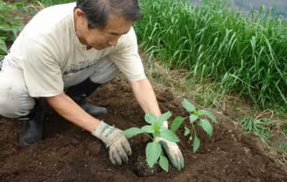 ピーマンの苗の植え付け