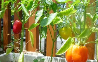パプリカのプランター栽培