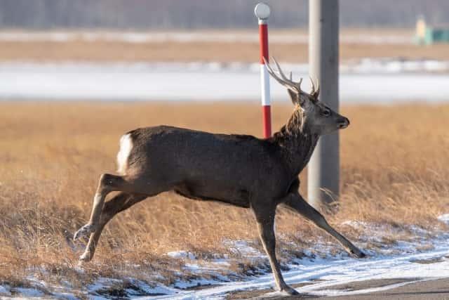道路に飛び出す鹿