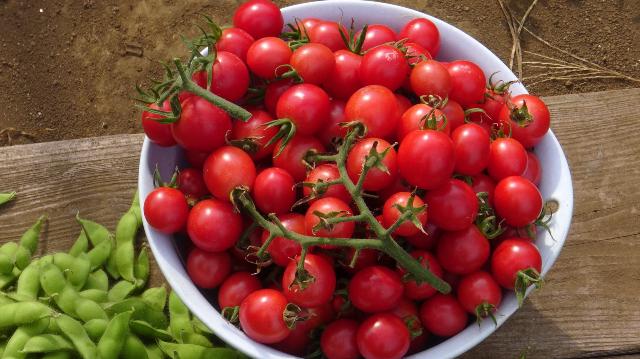 収穫したたくさんのミニトマト