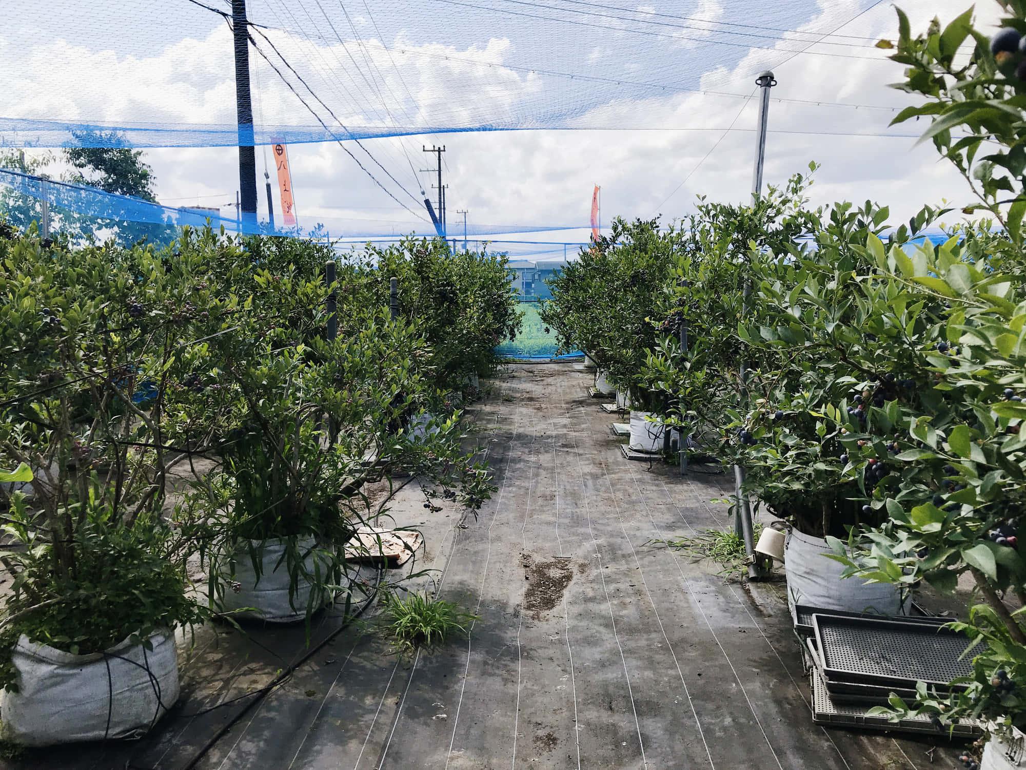 ブルーベリー栽培の様子