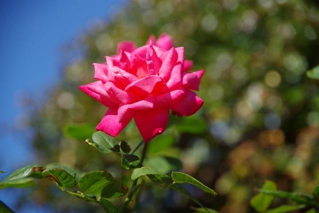 庭に咲くピンクのバラ