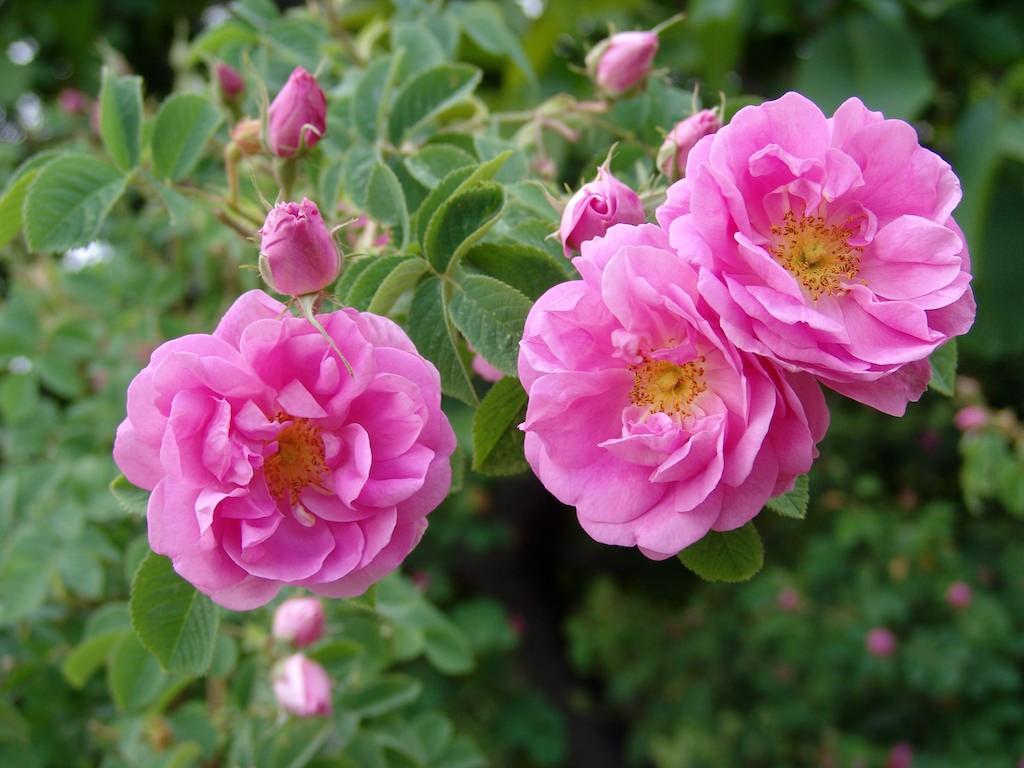 花びらの多いピンク色のバラ