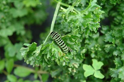 パセリの葉についたキアゲハの幼虫