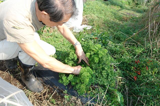 パセリの収穫