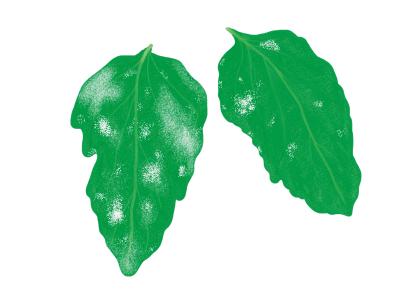 うどんこ病におかされたトマト・ミニトマトの葉