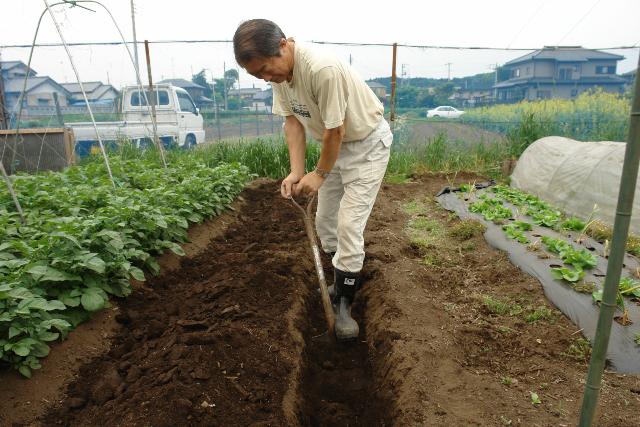 堆肥を入れるための溝を畑に掘る