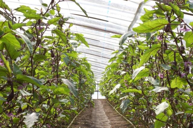 ナスが栽培されるビニールハウス