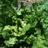 圃場で栽培されているハクサイ
