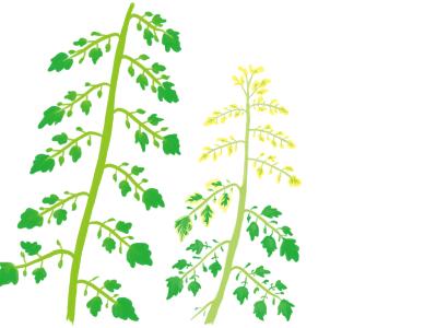 黄化葉巻病 におかされたトマト・ミニトマトの株