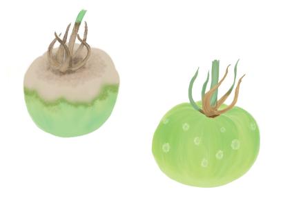 灰色カビ病におかされたトマト・ミニトマトの果実