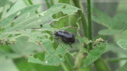 インゲンの葉についたコガネムシ