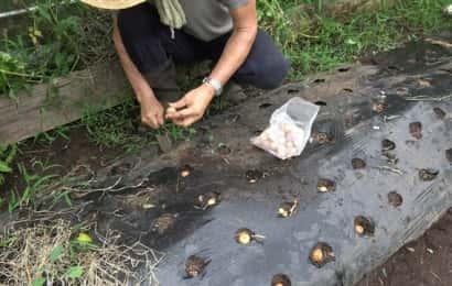 ホームタマネギの植え付け