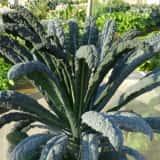 カーボロネロの栽培