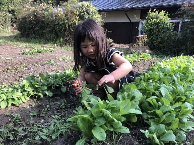 菜っ葉を収穫する女の子