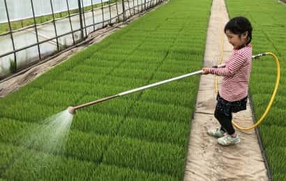 米の苗に水をまく女の子