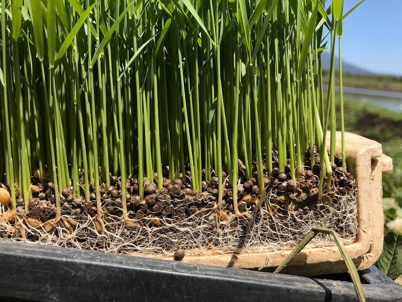 育つ米の苗