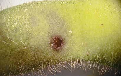 シロイチモジマダラメイガに被害を受けたエダマメ