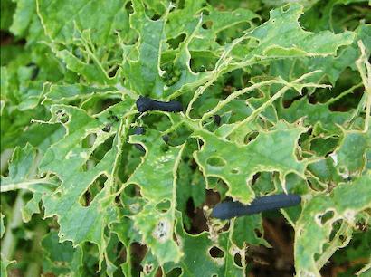 カブラハバチに葉脈を残して食害されたダイコンの葉