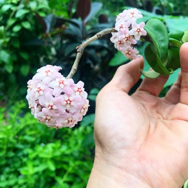 ホヤ・カルノーサコンパクタの花