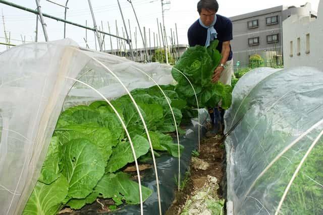 福田先生 ハクサイの収穫