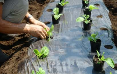 ハクサイの苗植え