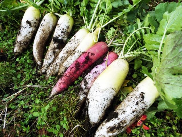 収穫したいろいろな種類のダイコン