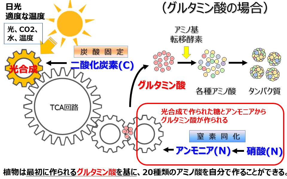 アミノ酸の作られ方の図