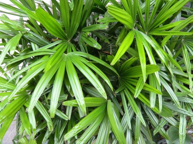 カンノンチクの葉