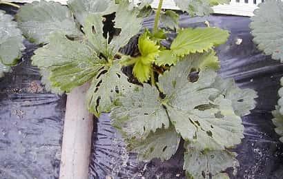 ハスモンヨトウに加害されたイチゴ