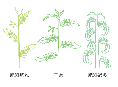 葉柄の生育から判断するトマト・ミニトマトの肥料のタイミング