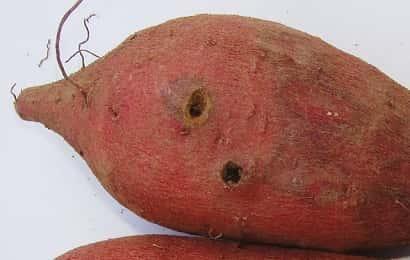 ハリガネムシの被害を受けたサツマイモ
