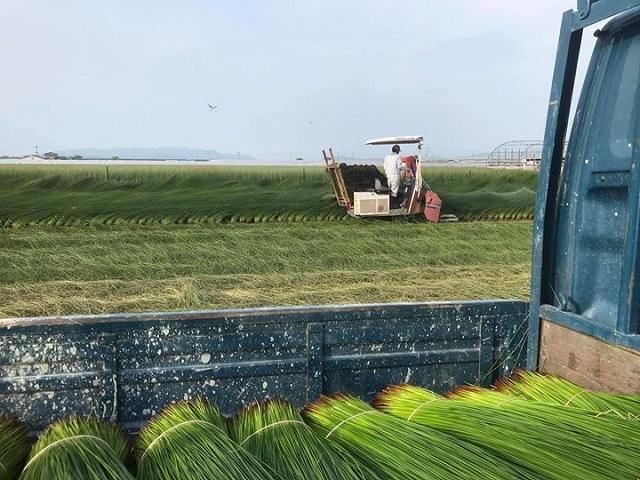 い草の収穫