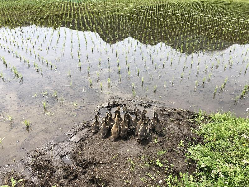 田んぼに入る前のアイガモたち