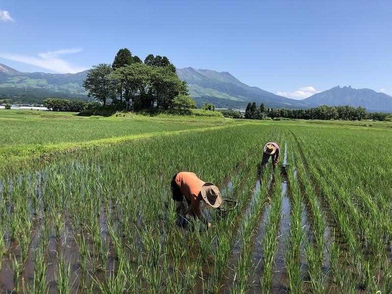 田んぼで草取りをする人たち