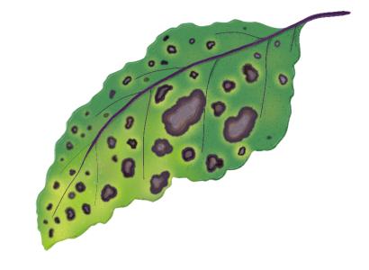 黒枯病におかされたナスの茎葉