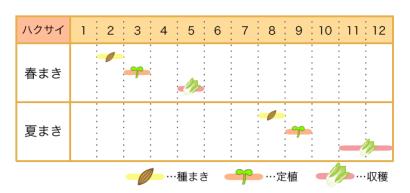ハクサイ 栽培カレンダー