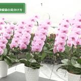 3つの鉢の胡蝶蘭