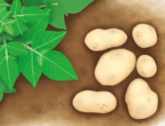 ジャガイモとジャガイモの茎葉