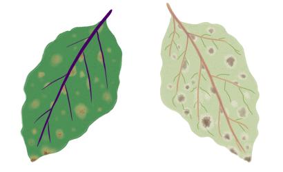 すすかび病におかされたナスの茎葉