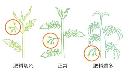 開花果房までの生育から判断するトマト・ミニトマトの肥料のタイミング