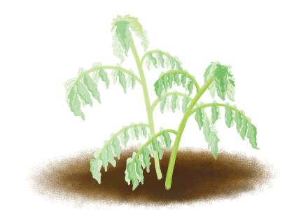青枯病におかされたジャガイモ茎葉