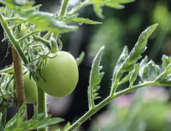 肥料が不足気味のトマト