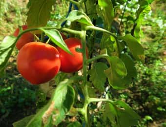 果実が真っ赤になったトマト