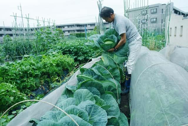 福田先生のキャベツ畑